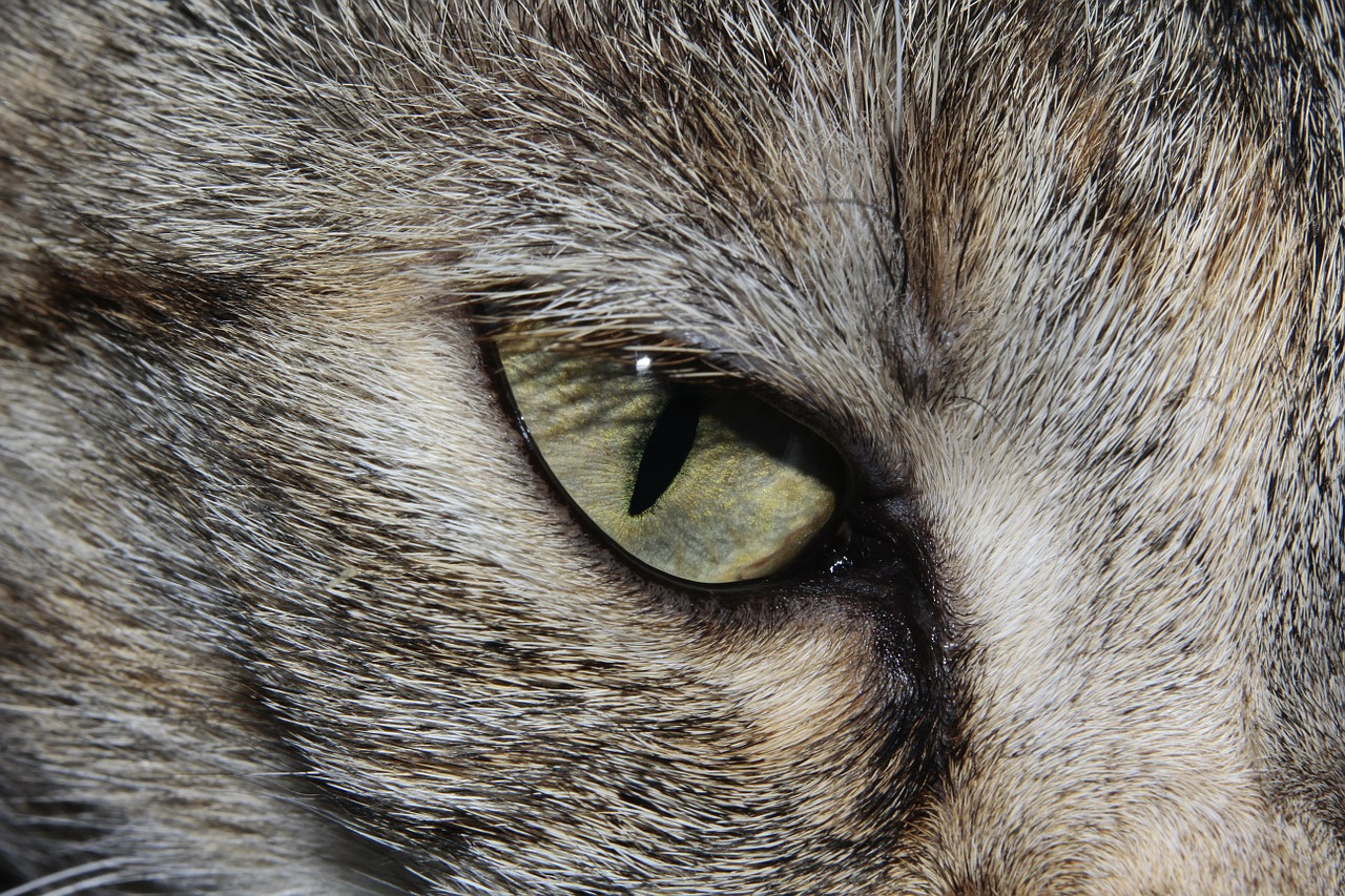 oeil-chat