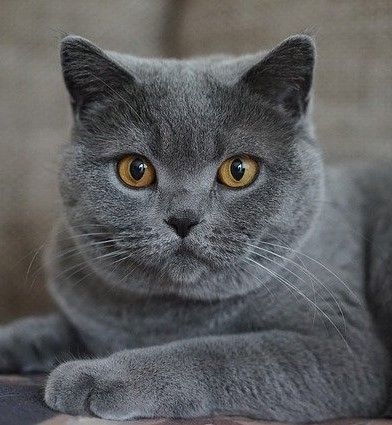 British Shorthair gris aux yeux orange