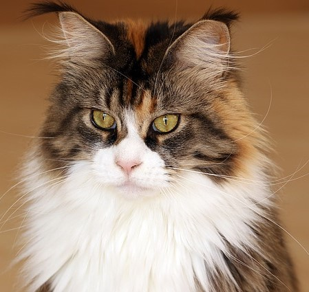 chat-main-coon